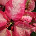 Pointsettias and much much more at the Christmas season Coach Tour to the Grand Bend area.