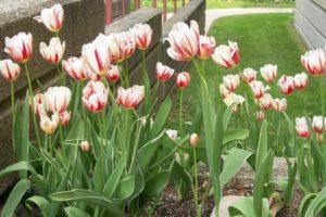 100_6456 tulips