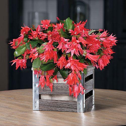 22519 christmas cactus